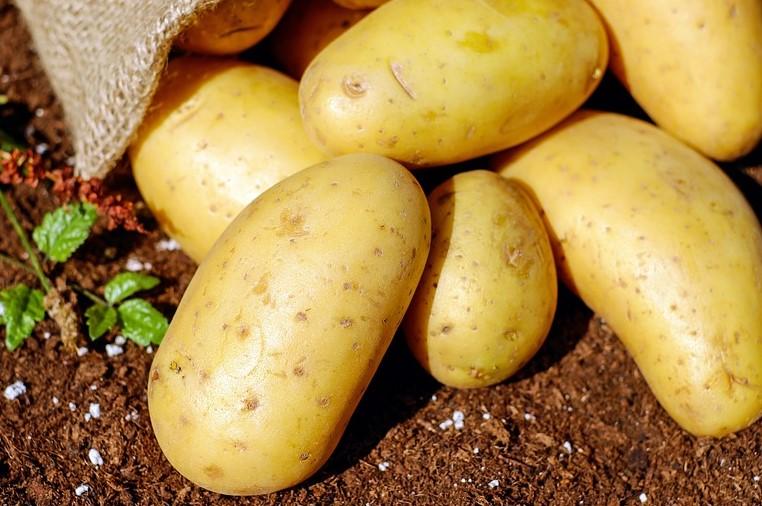 картофель рекорд урожай
