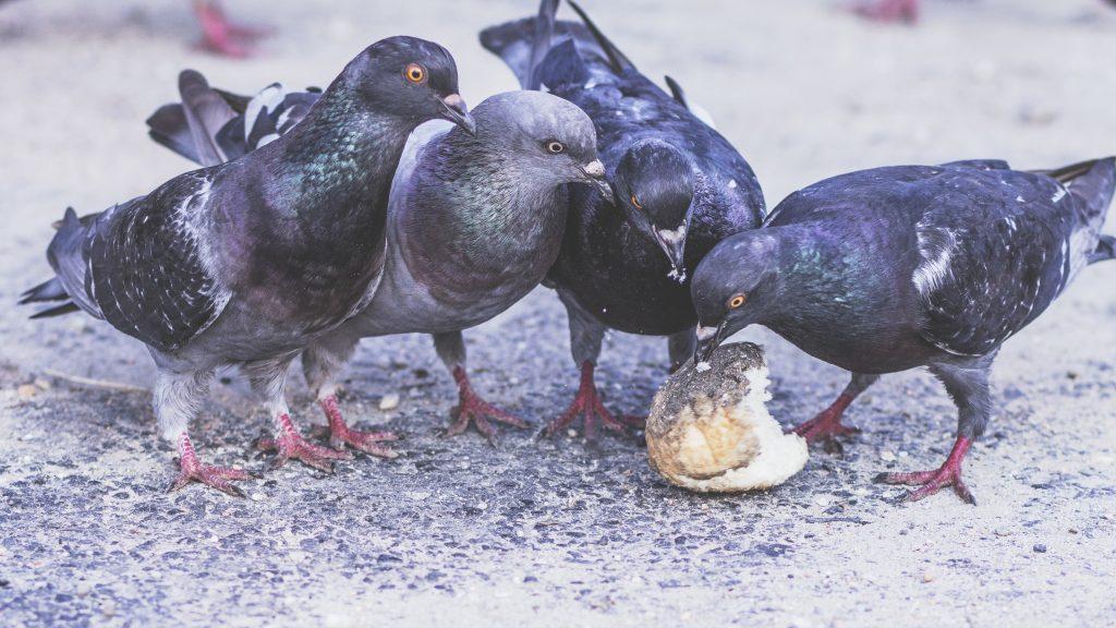 Птичку жалко? Орнитологи просят россиян не закармливать голубей до смерти