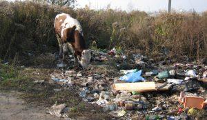 Коровам негде пастить кроме свалки в южноуральском селе