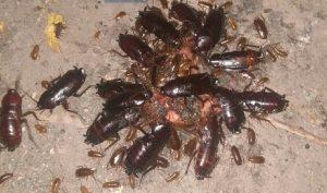 Жуткий хруст. Уральцев шокировали странные тараканы-семечки