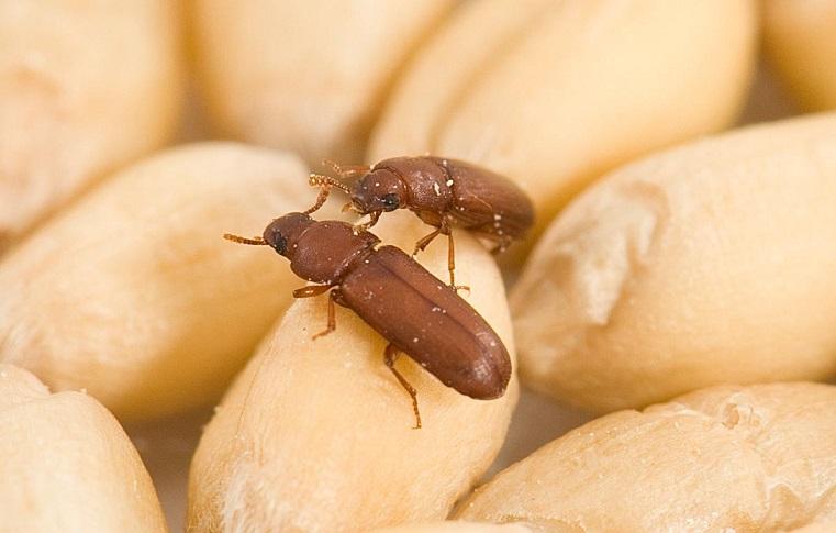 Невозможно вытравить. Южный Урал атакуют жуки-крупоеды