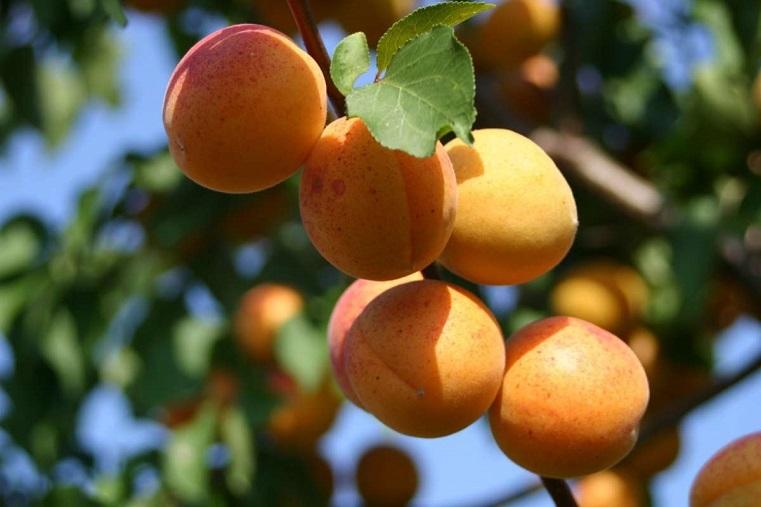 Обыкновенное чудо. В женском монастыре на Урале собрали небывалый урожай абрикосов