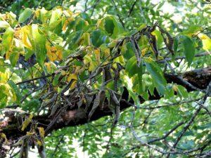 Патогенные грибки. В Челябинске нашли опасные деревья