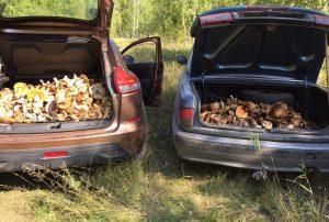 Осенняя грибалка. В лесах Урала грибы собирают тоннами