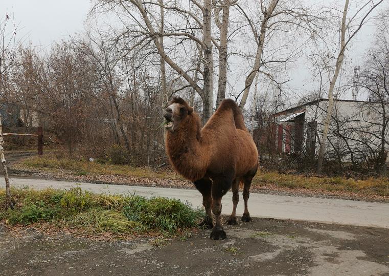 «Алладин потерял?». Гуляющий по городу верблюд удивил южноуральцев