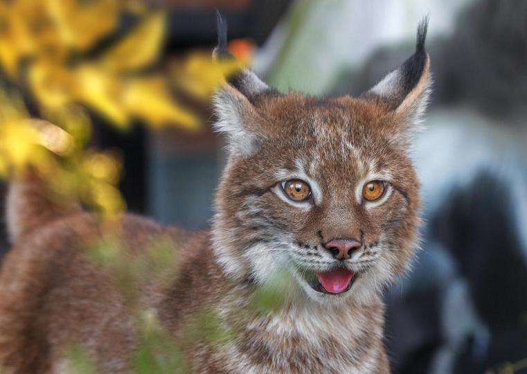 Большой котенок. Южноуральцы в восторге от нового обитателя зоопарка