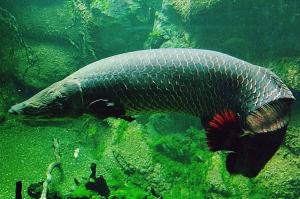 200 кг агрессии. Ученые нашли гигантскую рыбу с броней вместо чешуи