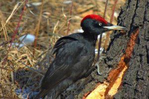 Плач ребенка. Угольно-черную птицу видели на Южном Урале