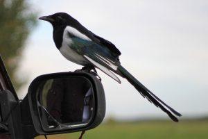 Дерзкая и ленивая. Самую наглую птицу нашли в Челябинске ВИДЕО