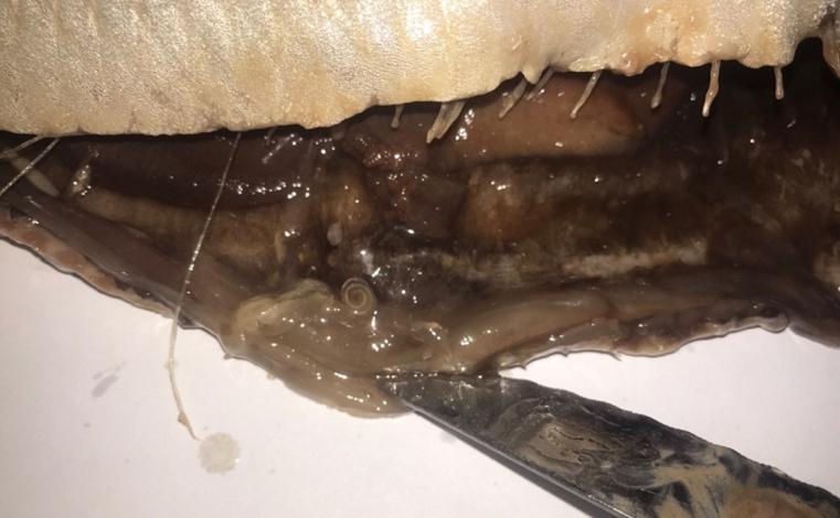 Червивая селедка. Жителю Челябинска продали рыбу с паразитами