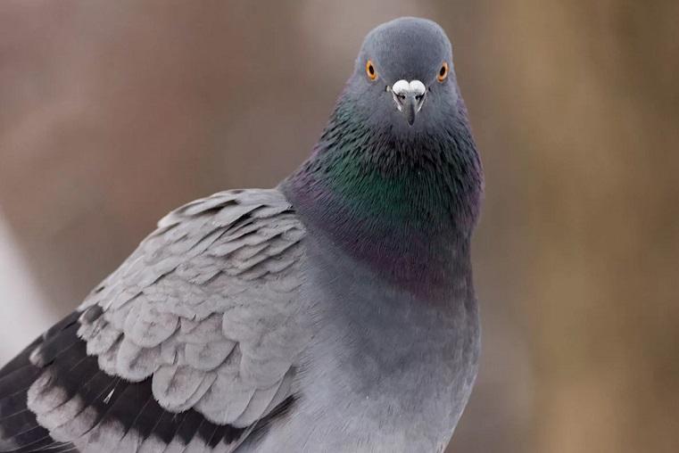 Сотни неподвижных птиц. Челябинцы обеспокоены странным поведением голубей ВИДЕО