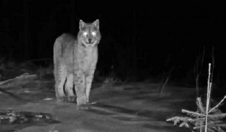 Очень опасна. Кошку весом в 30 кг нашли в лесах под Челябинском