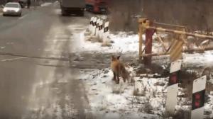 На оживленной улице в Челябинске заметили лису