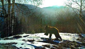 В нацпарке Зюраткуль заметили медведя-бродягу