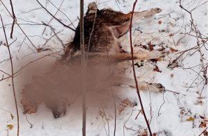 Шокирующая смерть. На Урале собаку с щенками отравили ядом
