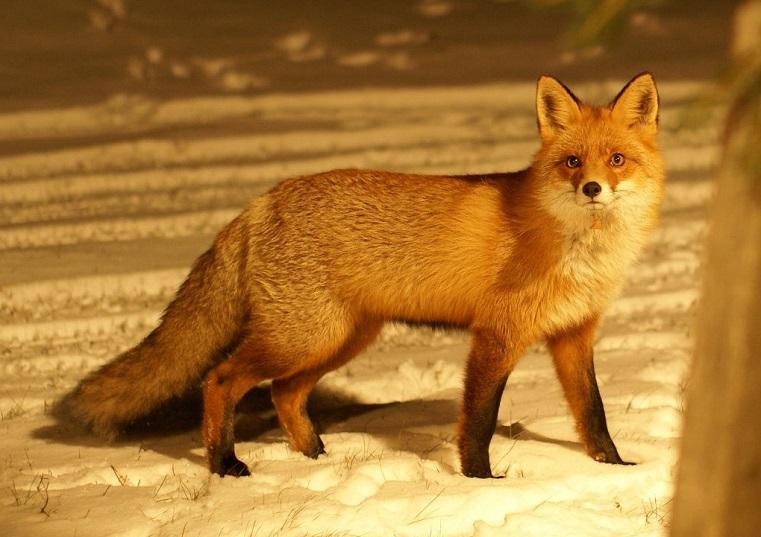 В поисках еды. Дикая лиса гуляет по двору в Челябинске