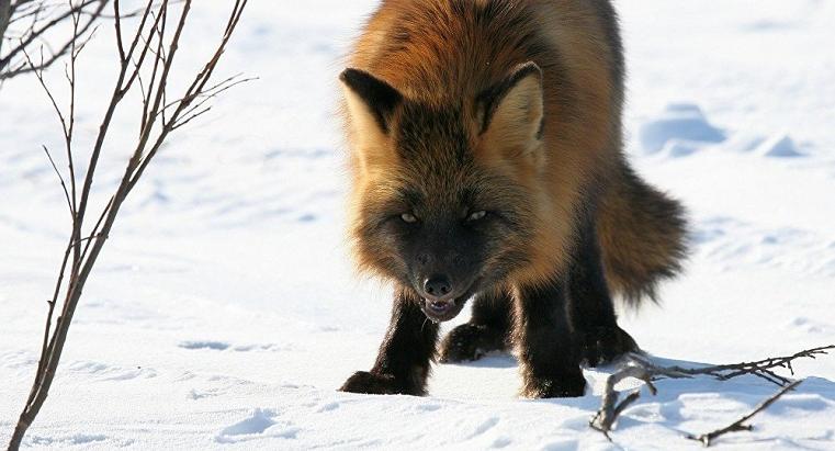 Дикая лиса укусила ребенка в Челябинской области