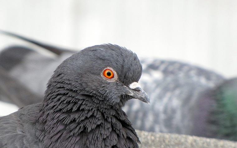 «Даже голуби суровые». Челябинцев удивила птица, которая принимала душ в мороз