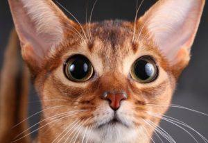 Мини-пума. Кошку очень редкой породы продают на Урале