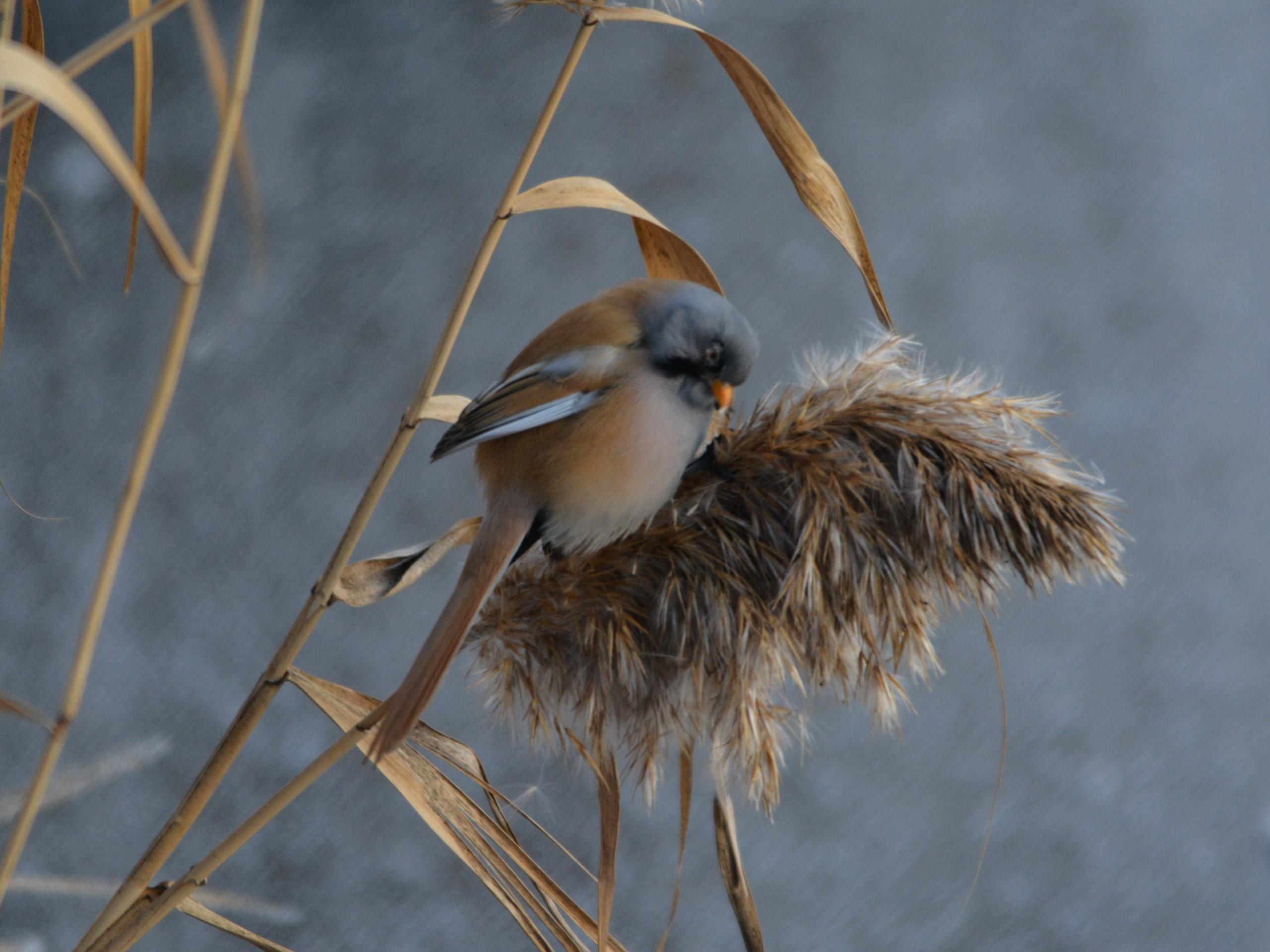 Синяя борода. Птиц с усами видели под Челябинском