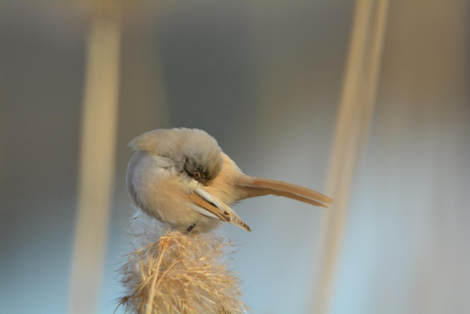 Самую стеснительную птичку нашли на Урале