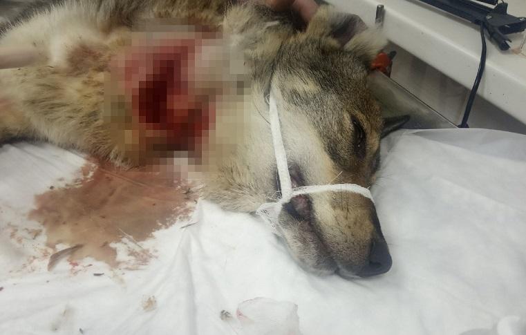 Отрезаны горло и лапы. На Урале объявились мучители собак