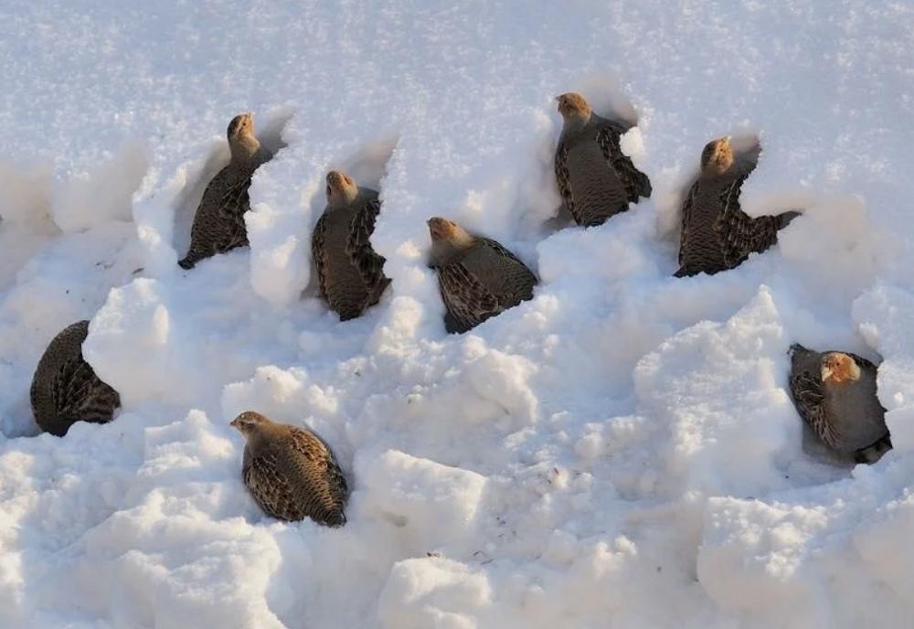 Ныряют в сугробы. На Урале нашли птиц, которые спят под снегом