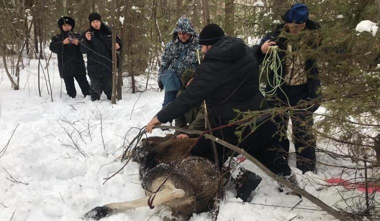 Пришлось на время усыпить. На Южном Урале спасли попавшую в капкан самку лося