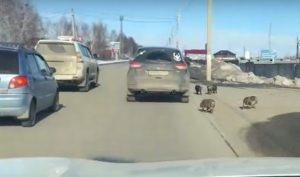 «Cтранные собачки». По улицам города на Урале разгуливало стало кабанов