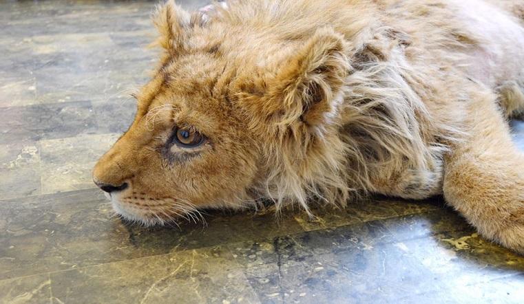 Король лев. Львенка Симбу спасли от живодеров на Урале