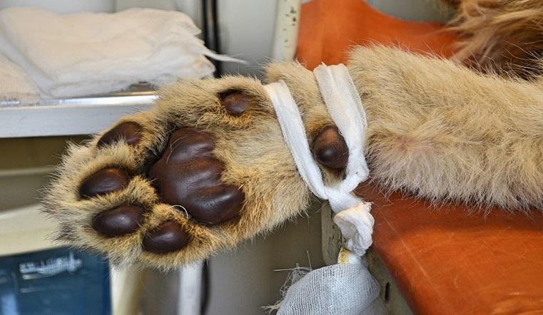 Король лев. Львенка Симбу спасли от живодеров на Урале. Фото: Карен Даллакян