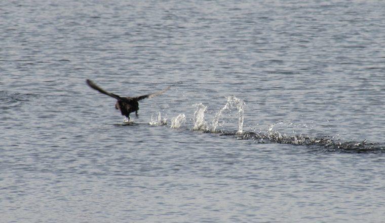 Бегают по воде и кричат. Наглых диких куриц заметили на Урале