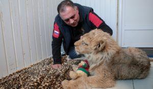 Из Челябинска в Африку. Спасенный львенок Симба уедет жить за границу