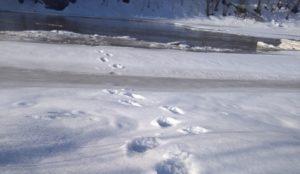 Голодные и агрессивные. В лесах Урала нашли следы опасных хищников