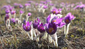 Пушистые бутоны. На Урале распустились ядовитые цветы
