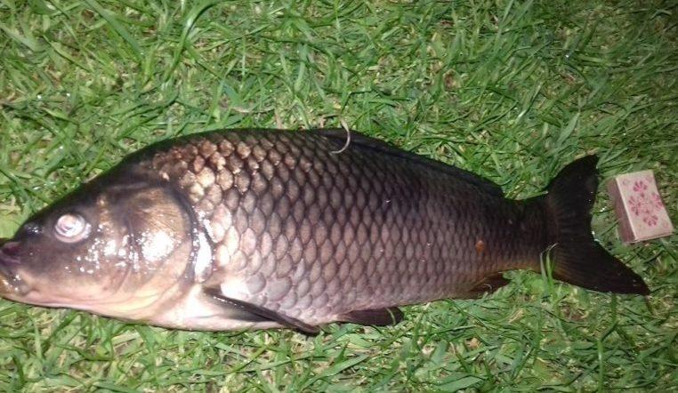 Почти рекорд. Рыбак поделился фото карпа весом в 50 килограммов