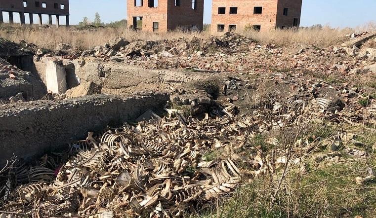 Кости и черепа. В Челябинской области оттаял огромный скотомогильник