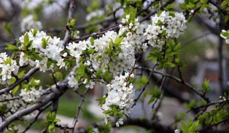 Черемуха цветет: приметы, поверья и когда заморозки