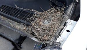 В тепле и на скорости. На Урале птица свила гнездо под капотом машины