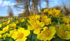 Солнечные цветы. На Южном Урале зацвела болотная календула
