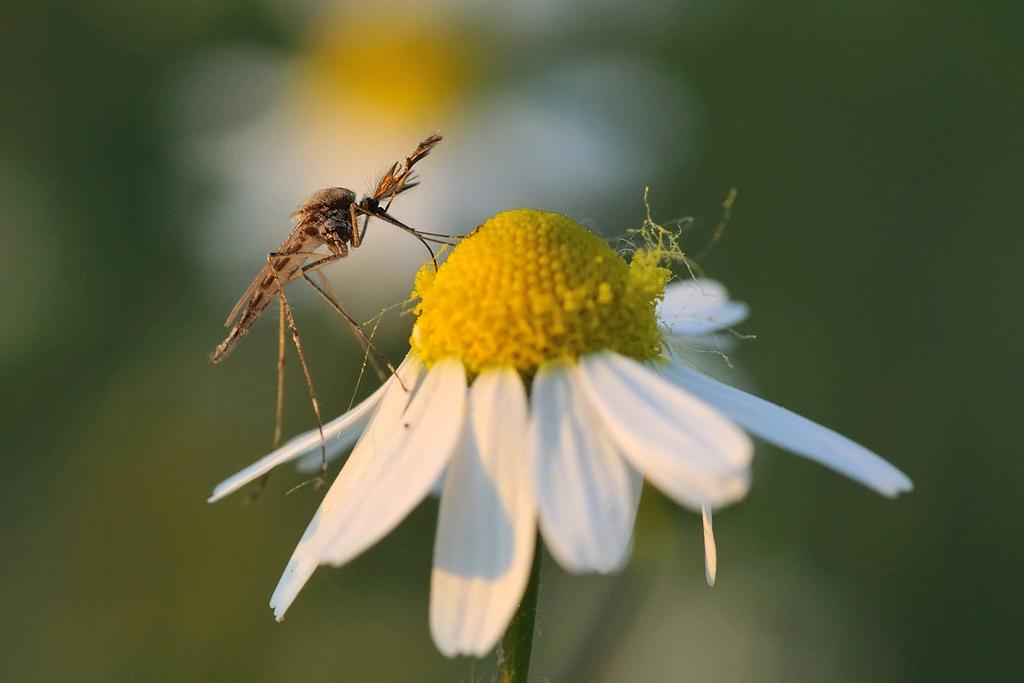 выпеченное комары в природе картинки там