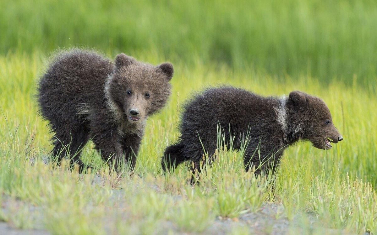 Мохнатые дети. 3-месячных медвежат, мать которых убили браконьеры, спасают на Урале