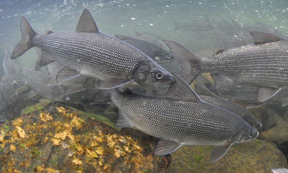 Уникальная рыбная ферма. В Челябинской области выращивают муксуна, осетра и стерлядь