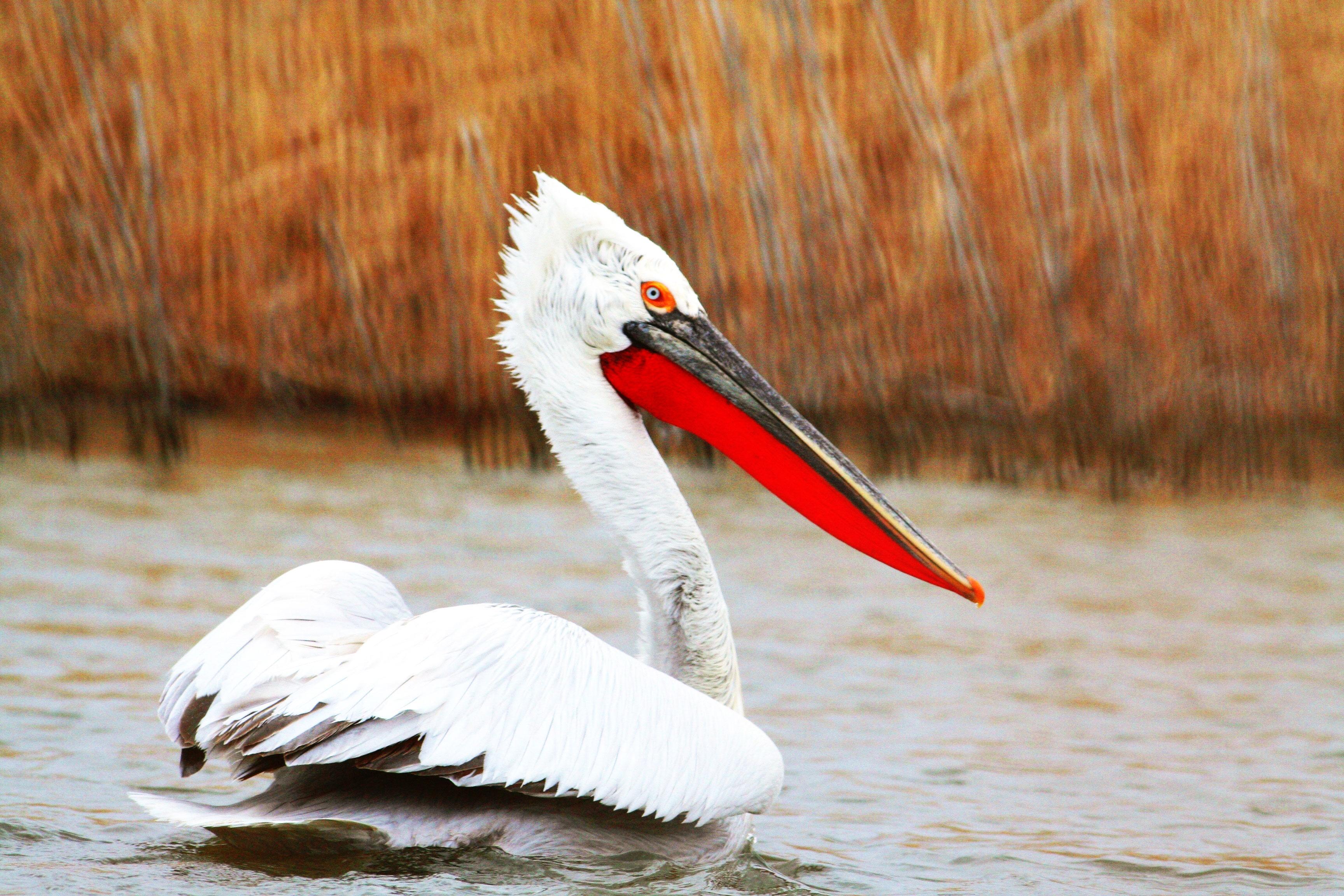 Размах крыльев больше 3 метров. Кудрявые пеликаны вернулись в Челябинскую область
