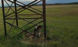 Безумно скулил. На Урале живодеры привязали в поле собаку