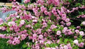 Розовая вишня. На Южном Урале зацвела сакура ФОТО