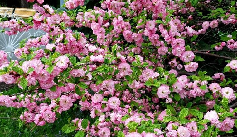 Розовая вишня. В Челябинской области зацвела сакура ФОТО