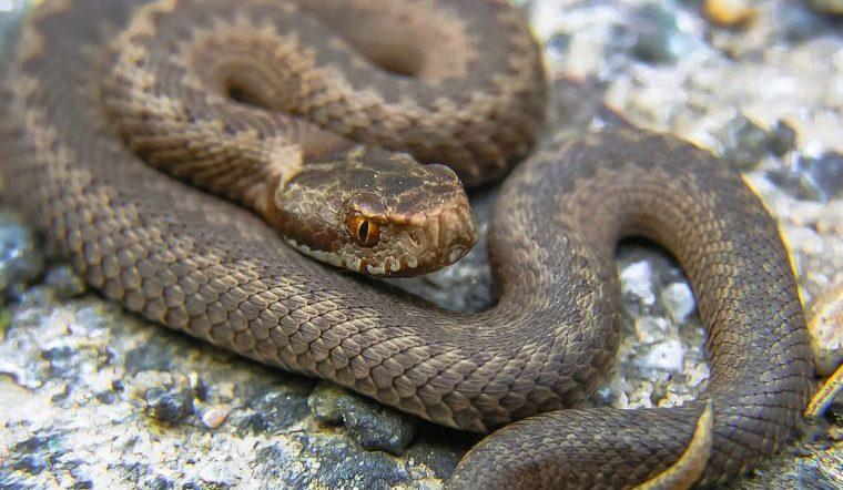 Гад ползучий. На Урале ядовитая змея укусила ребенка