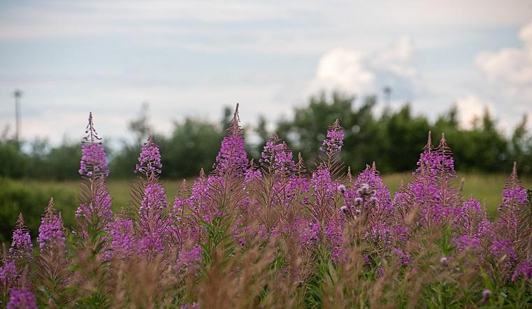 Где растут и когда собирать. 15 популярных лекарственных трав на Урале