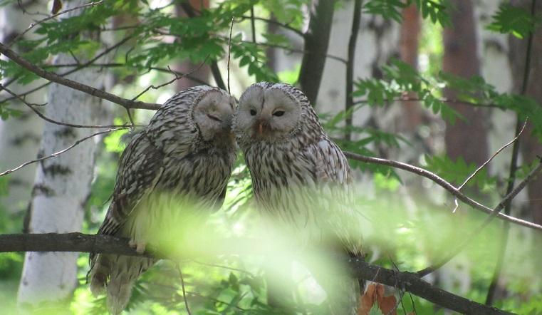 Невероятно мило. Сеть растрогали до слез «обнимашки» влюбленных сов